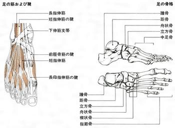 足根骨と筋腱.jpg